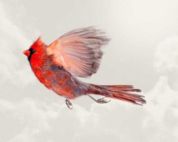 Male Cardinal small 91461 zoom