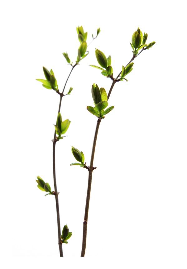 Budding branches mjh