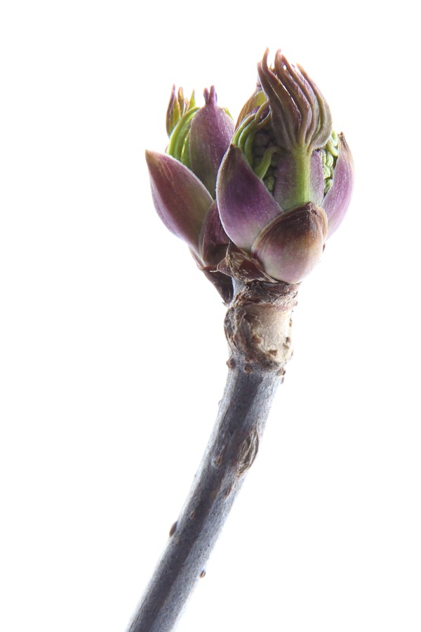First bud in march