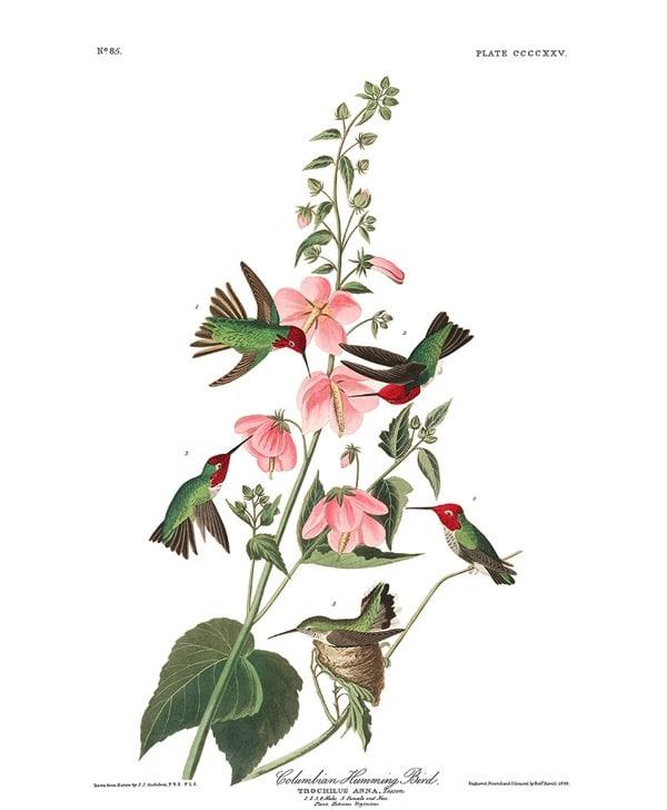 Audubon columbian humming final